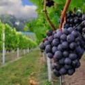 Στις 25 Ιουλίου η γιορτή του κρασιού